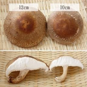 シイタケは肉厚で、10cm、12cmと大きなサイズでも生産。中には15cmを超える巨大シイタケも。
