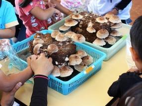 シイタケは素手で菌床から収穫することができます。