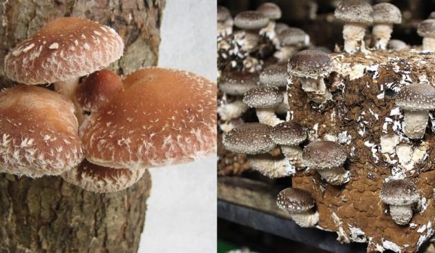原木栽培と菌床栽培の違い